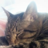 お気ニッ=^▼^=入り バラ色毛布で goo  goo  寝てる