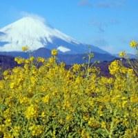吾妻山公園 富士山と菜の花