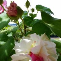 八重の酔芙蓉が又咲き始めました。