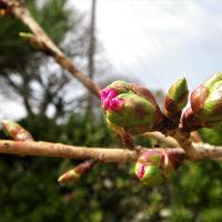 17-04-16 桜もうすぐ