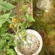 2017家庭菜園のトマトを