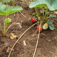 私のささやかな菜園(やっと苺の実が・・・)
