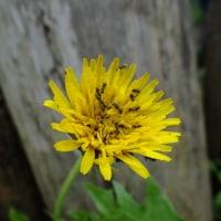 地面に咲く黄色い花達