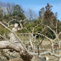 柿の木枝の防腐剤塗布作業