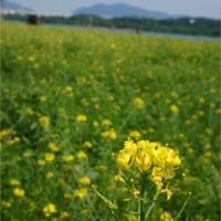 グリ漢江市民公園の菜の花