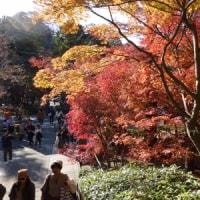 円覚寺のモミジ