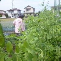 農園でタマネギの初収穫♪(4月27日)