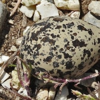 チドリの卵!