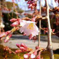 昨日朝の本満寺の枝垂れ桜(3/29)