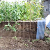 紫根2016収穫(終了)