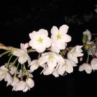 とうほく6県桜だより