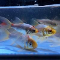 金魚 コメット5cm〜10cm