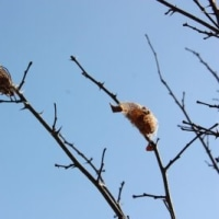 クスサン(楠蚕)の繭