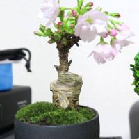 桜のミニ盆栽が咲ますた ヽ(´ー`)ノ