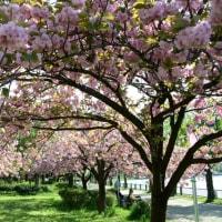 浮間公園の八重桜・・1