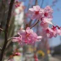 ヨコハマヒザクラが咲いています!