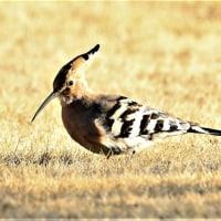 今日の野鳥   ヤツガシラ