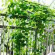 プチキュー  ベランダ菜園