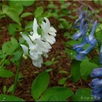 エゾエンゴサク 白花