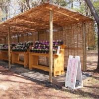 筑波実験植物園のさくらそう展見学