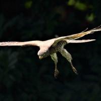 今日の野鳥    空を飛ぶカエル  (サシバの餌捕り)