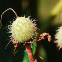冬芽の観察81・トチノキ4