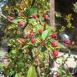 カイドウー1704  庭・花壇