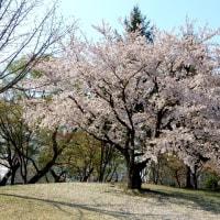 桜、散り行く春・・・。