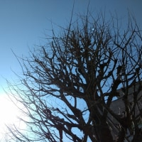 銀杏の日向ぼっこ