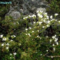 サキシフラガ・グラヌラタ  Saxifraga granulata
