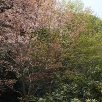 石楠花を見に八女市星野村へ 2017/04/16