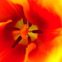 我が家のチューリップも咲きました・・・・