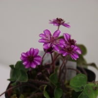 可愛い 春を彩る 雪割草(ユキワリソウ)