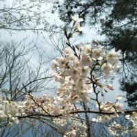 桜は、まだ