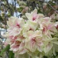 佐保神社の八重桜-薄い緑とピンク色の花びら