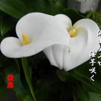 カラー咲く