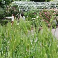 花壇の中に小麦畑?
