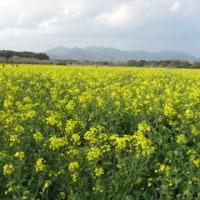 西都原の菜の花を見に行く