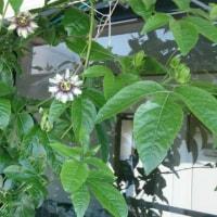 パッション5~7個目の開花