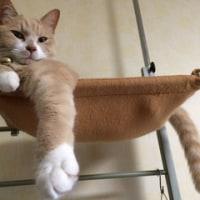 ♂猫だいず、柴犬に猫パンチ! 2016.08.25 CatsDiary 【♀猫こむぎ&♂猫だいずの動画日記】
