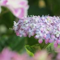 6月の魔法~紫陽花~