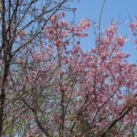 桜 色々2