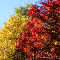 『競艶』 黄葉/紅葉