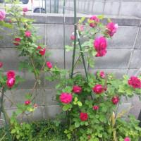 薔薇 開花