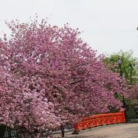 造幣局の八重桜2017