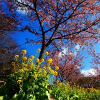 『春一番』 河津桜