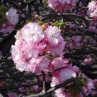 造幣局の通り抜け 桜見物