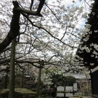 大宝寺のうば桜は六分咲き。