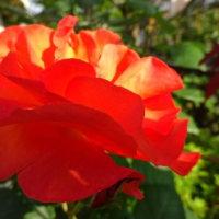 バラ(プリンセスミチコ)開花