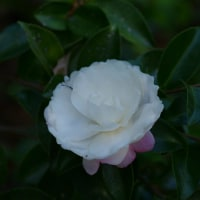 [#3449] 11月に撮った花のマクロ写真(4)サザンカ(初光)
